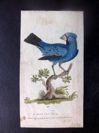 After George Edwards 1799 Hand Col Bird Print. Blue Grosbeak